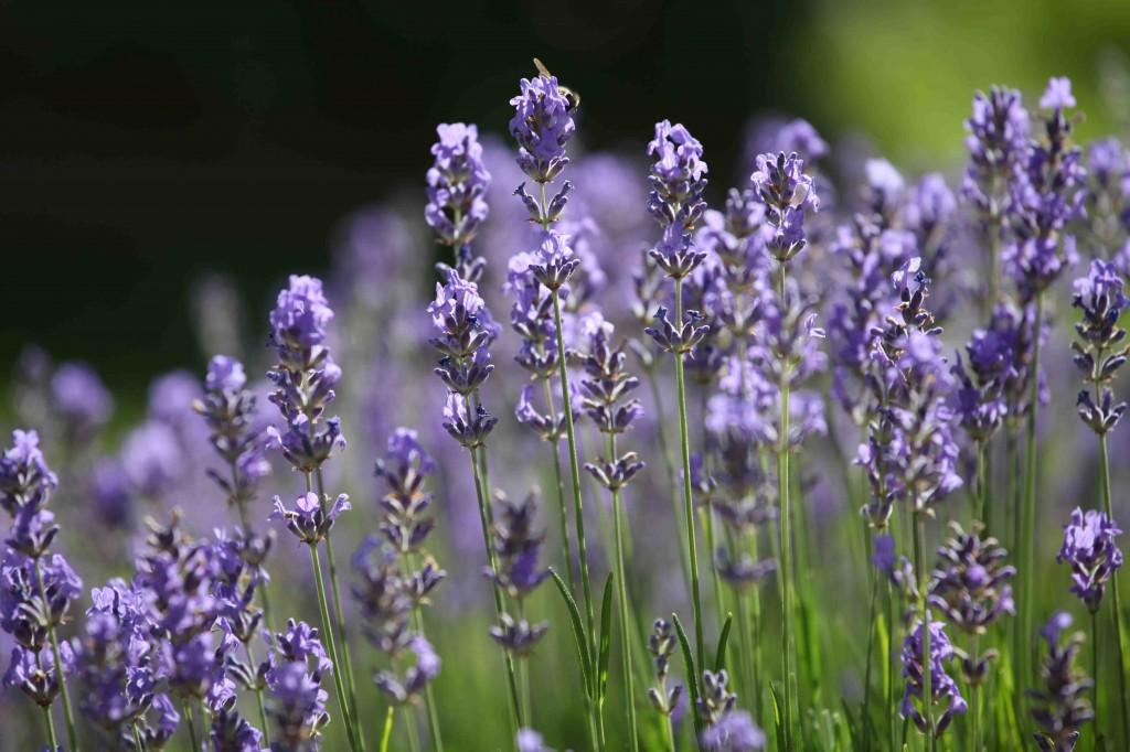 Connaître les Plantes - Lavande vraie - Les Doigts Fleuris - Le blog alternatif Jardin