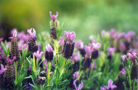 Connaître les plantes - Lavandula-stoechas - Pride of Place Plant - Les Doigts Fleuris - Le blog Alternatif Jardins