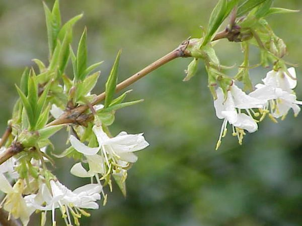 Lonicera Fragrantissima, Parfum D'hiver