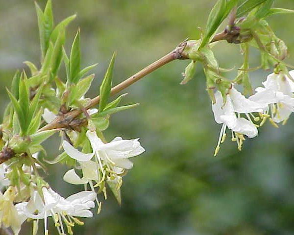 Lonicera Fragrantissima, Parfum D'hiver!