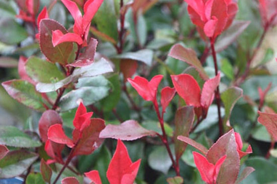 Photinia X Fraseri « Red Robin Nana »