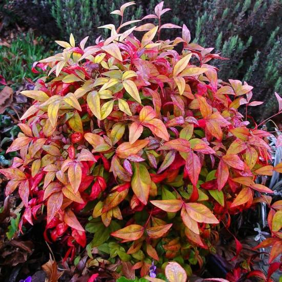 Connaître les plantes - NANDINA FIREPOWER - Les Doigts Fleuris - Le blog alternatif Jardin