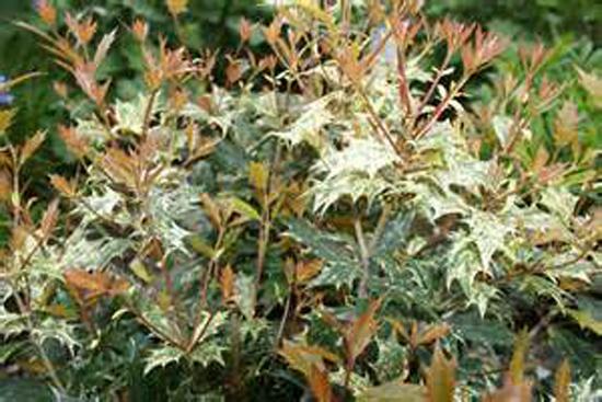Connaître les plantes - osmanthus hétérophyllus tricolor - Les Doigts Fleuris