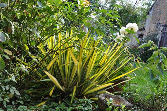 Connaître les plantes - yucca filamentosa Bright edge - lejardindesvigneaux.over-blog.fr - Les Doigts Fleuris - Le blog alternatif jardin