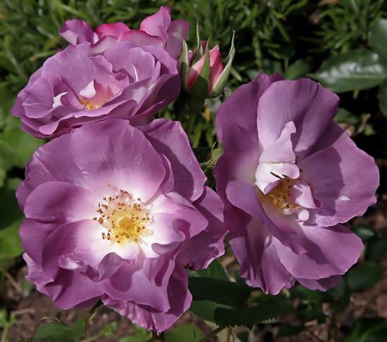Connaître Les Plantes - Les Roses S'habillent De Violet - Les Doigts Fleuris