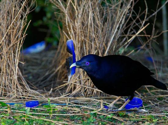 L'oiseau jardinier cultive sa décoration d'intérieur- Les Doigts Fleuris