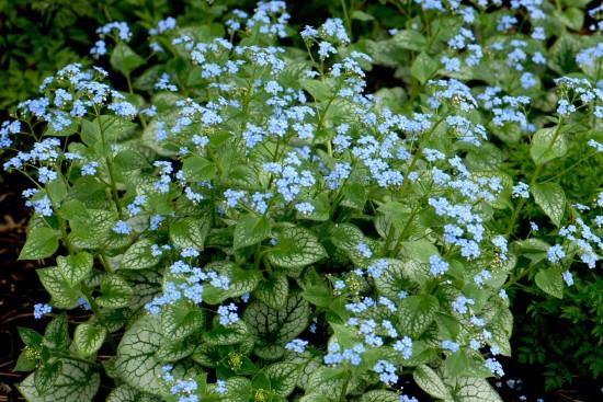 Connaître Les Plantes - Brunnera Jack Frost - Les Doigts Fleuris
