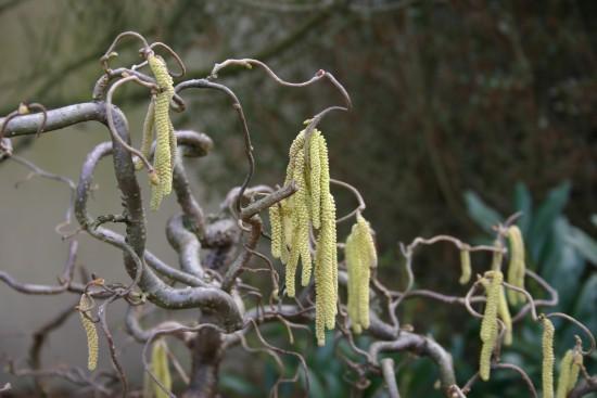 Connaître Les Plantes - Corylus Avellana Contorta - Les Doigts Fleuris