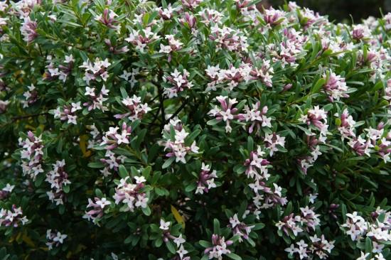 Connaître les Plantes - Daphné Transatlantica Eternal Frangance - Les Doigts Fleuris