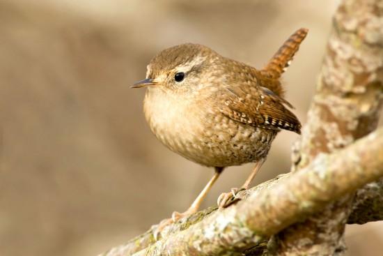 oiseau troglogyte - Les Doigts Fleuris