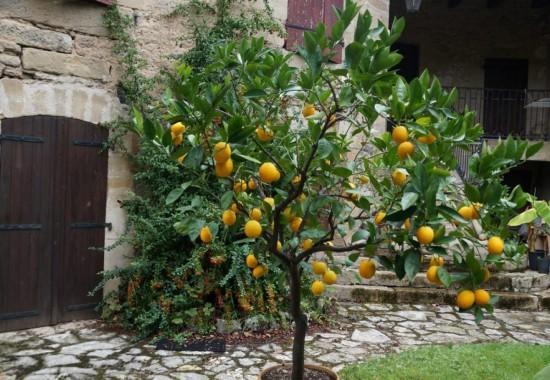 Astuces Jardin - Remise En Forme Des Agrumes Du Jardin - Les Doigts Fleuris
