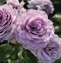 Rose Novalis - Les Doigts Fleuris