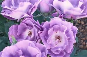 Rose Pacific Dreams - Les Doigts Fleuris