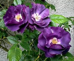 Rose Rhapsody In Blue - Les Doigts Fleuris