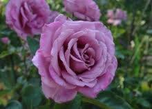 Rose Violette Parfumée - Les Doigts Fleuris