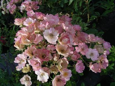 Connaître les plantes - le rosier alden biesen - les doigts fleuris