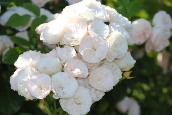 Connaître les plantes - Les rosiers à floraison continue - blog jardin