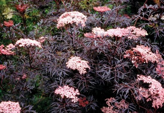 Connaître les plantes - sureau black lace - les doigts fleuris