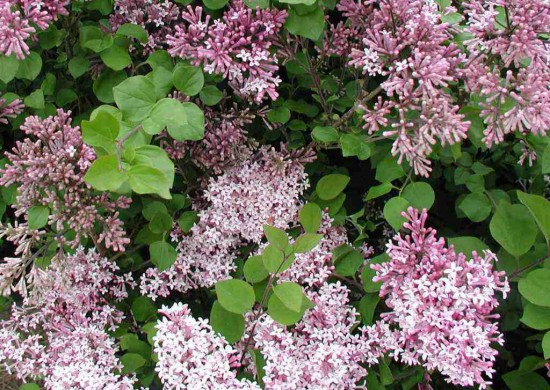 Le Lilas Ou Syringa Micropylla Superba, Beaucoup De Finesse