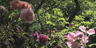 Le Temps Des Roses Dans Le Jardin De Fernanda Voulgaropoulos (paysagiste) - Les Doigts Fleuris