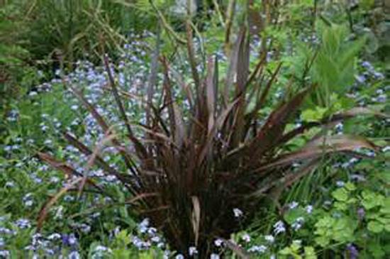 Connaître les plantes - Phormium Jack Sprat - Les Doigts Fleuris