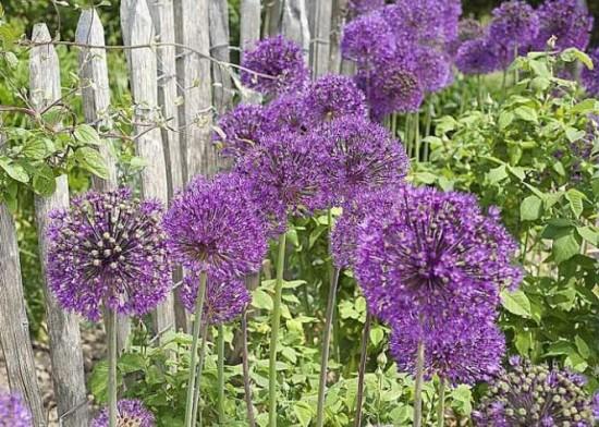 Connaître Les Plantes - La Fleur D'aulx (ail) - Les Doigts Fleuris