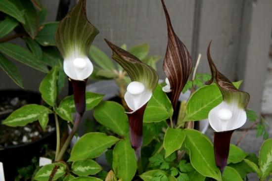 Connaître les plantes - Arisaema Sikokianum - Les Doigts Fleuris