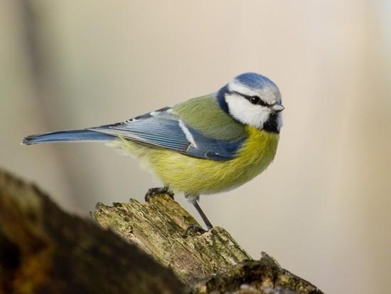 Mésange Bleue, La Beauté De Nos Jardins !