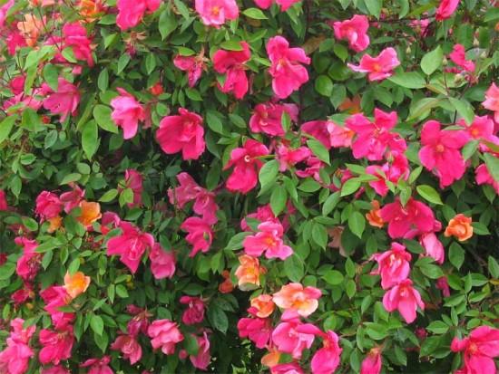 Tendance Jardin - La Rosa Mutablis le rosier chinensis mutabilis- Les Doigts Fleuris