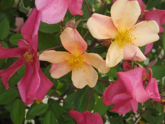 Le Rosier Chinensis Mutabilis, Toujours En Fleurs