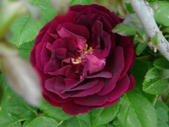 Connaître les plantes - La Rose Souvenir du Dr. Jamain - Les Doigts Fleuris