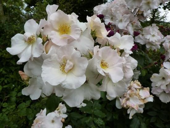 Sally Holmes, Un Rosier Qui Imite L'hortensia