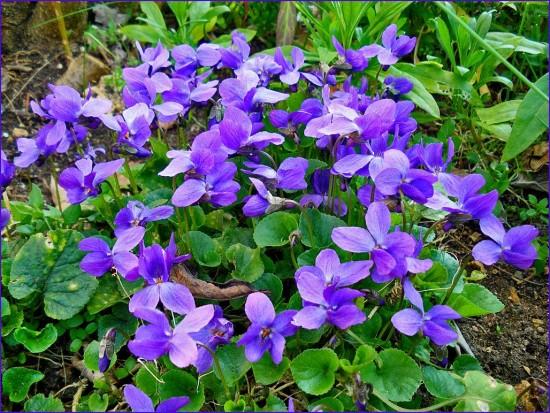 La Violette Odorante En Salade - Les Doigts Fleuris