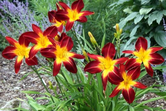 HÉMÉROCALLE - Les doigts fleuris