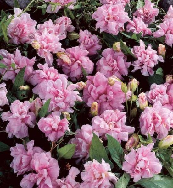 La Plante Grimpante «calystegia Flore Pleno», Une Volubile