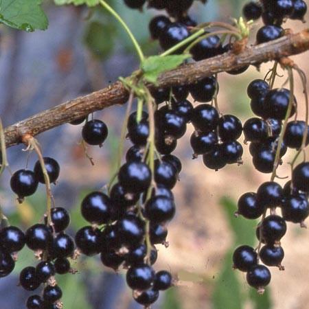 Le Petit Fruit Noir: Le Cassis Une Perle Au Jardin