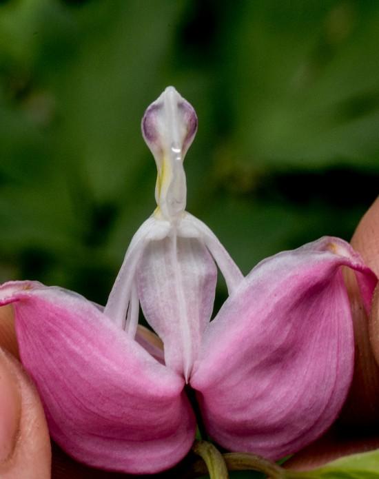 Le Coeur de Marie - Plante du mois de mai 2015 - Les Doigts Fleuris