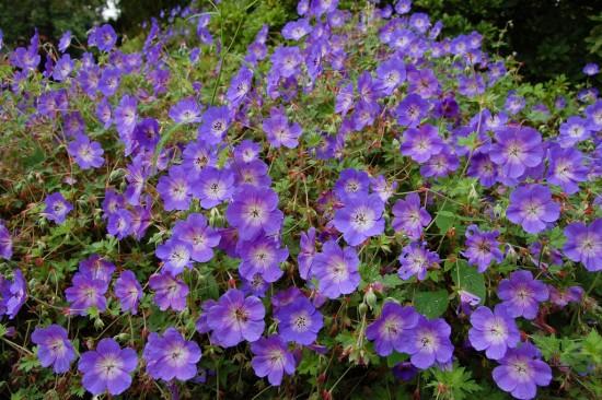 Géranium Rozanne Vivace, Fleurit 6 Mois Au Jardin
