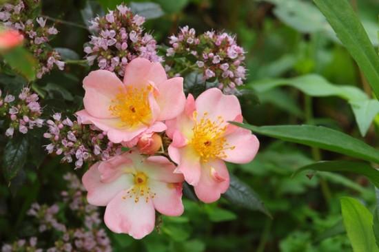 deux rosiers « leander » et « open arms» - blog jardin
