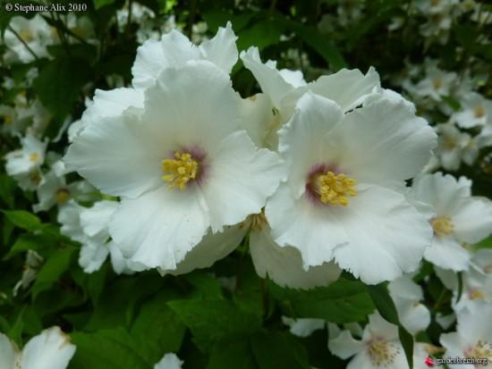 Le Seringat Ou Philadelphus «belle étoile», Plante à Parfum
