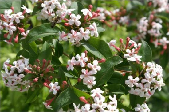 Ce Superbe Abélia Mosanensis Peut être Considéré Comme Une Variété De Collection ! - Les Doigts Fleuris