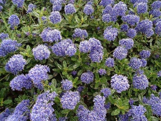 Le Ceanothe, gloire de Versailles, est l'un des plus beaux arbustes d'été à la floraison bleu... - Les Doigts Fleuris