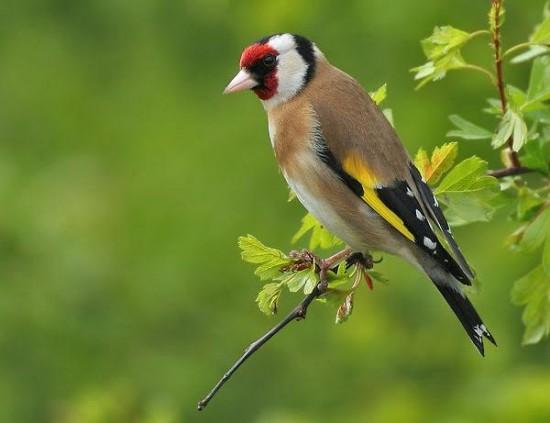 Le Chardonneret élégant Est Un Oiseau De Nos Jardins Le Plus Coloré
