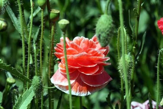 Les coquelicots doubles ou juponnés - Les Doigts Fleuris