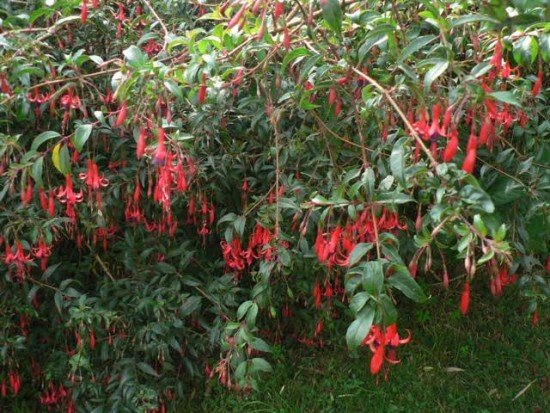 Fuchsia Regia Reitzii - Les Doigts Fleuris