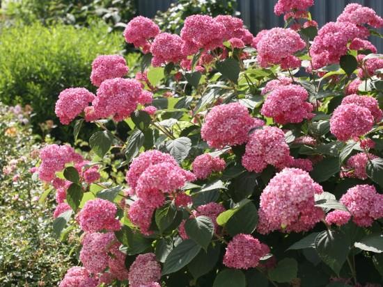 L'hortensia Invincible - Les doigts fleuris