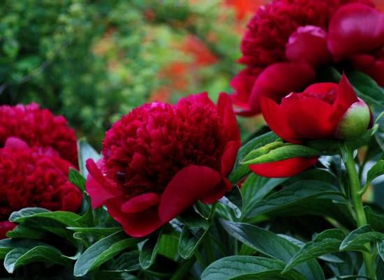 Connaître Les Plantes - Les Pivoines, Qu'on Les Aime Ou Pas, Elles Ne Laissent Personne Indifférent... - Les Doigts Fleuris
