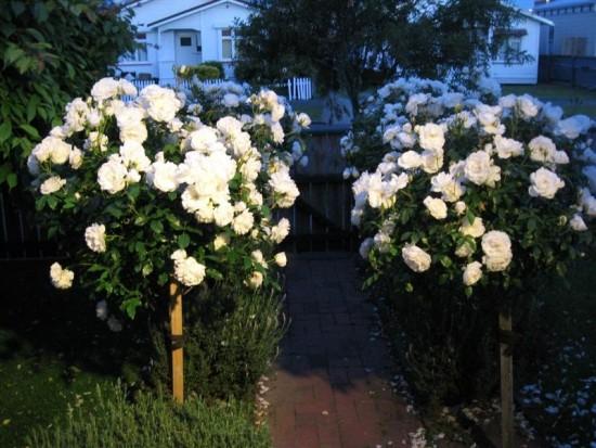 """Le rosier """"fée des neiges"""" ou """"iceberg"""" - blog jardin"""