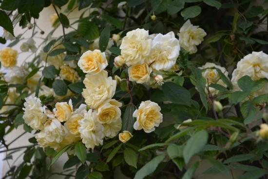 Le Rosier Grimpant «Malvern Hills», Des Fleurs Jaunes En Continue