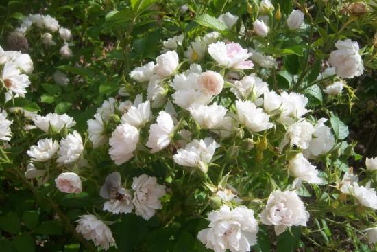 Le Rosier Rugosa White Grootendorst Aux Fleurs D'oeillets